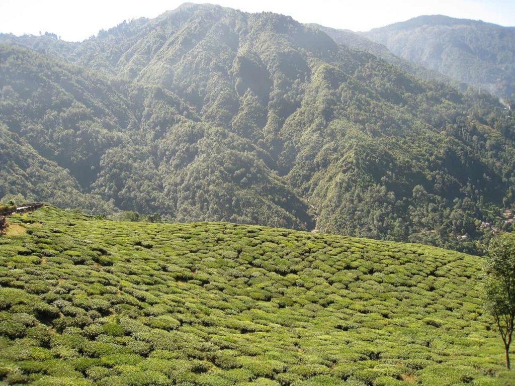 ダージリン-茶畑